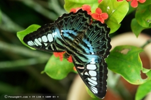 Penang butterfly