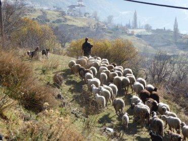 sheepphoto
